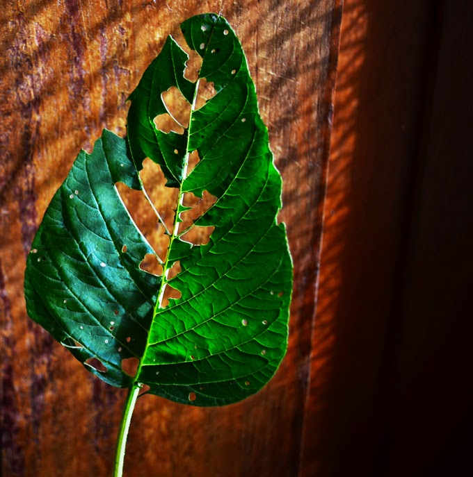 The battered leaf