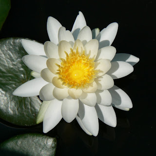 Amazing White Water Lily