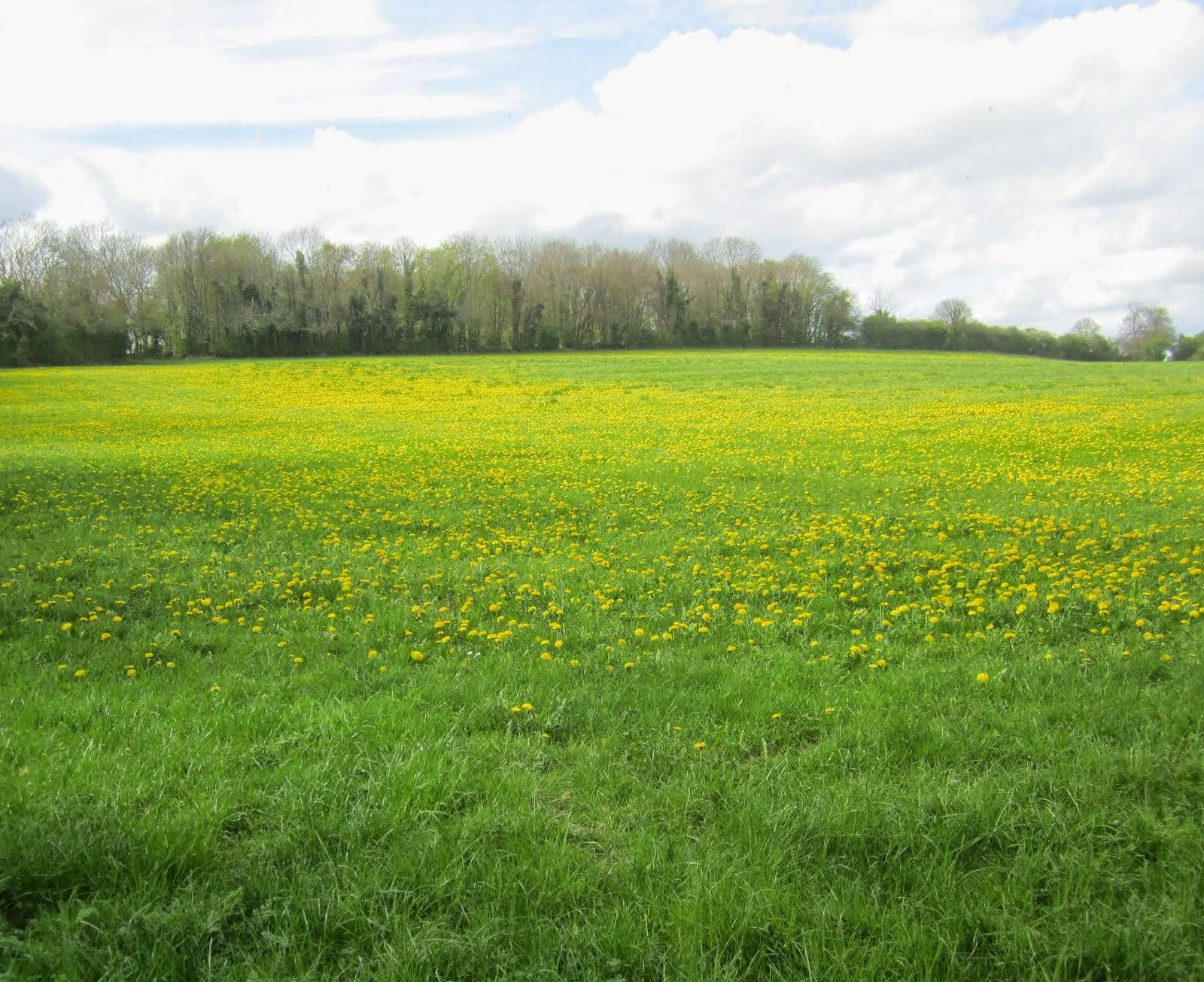 Field of dandelion gold