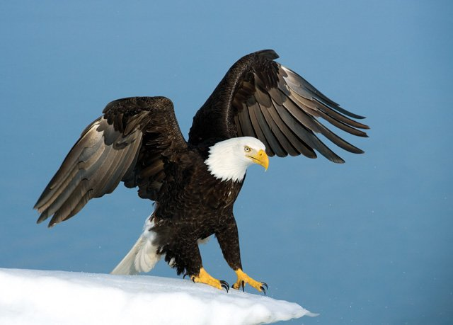 Eagle bird images - photo#5