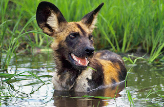 hunter african painted dog in water