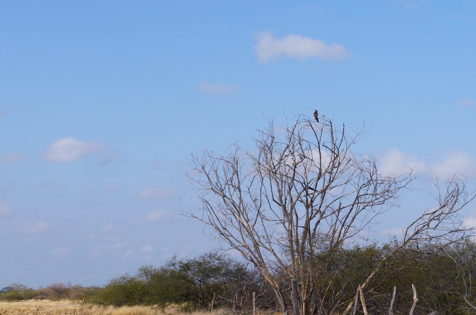 A acauã na caatinga