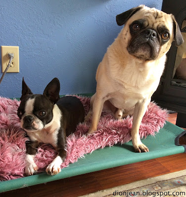 Pug and Boston terrier on platform bed