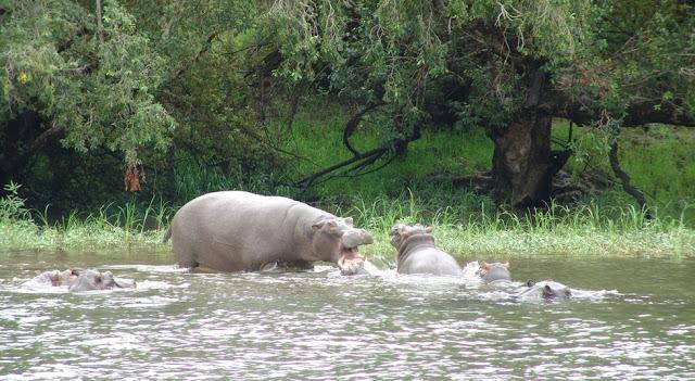 Zambia - Zambezi's hippos