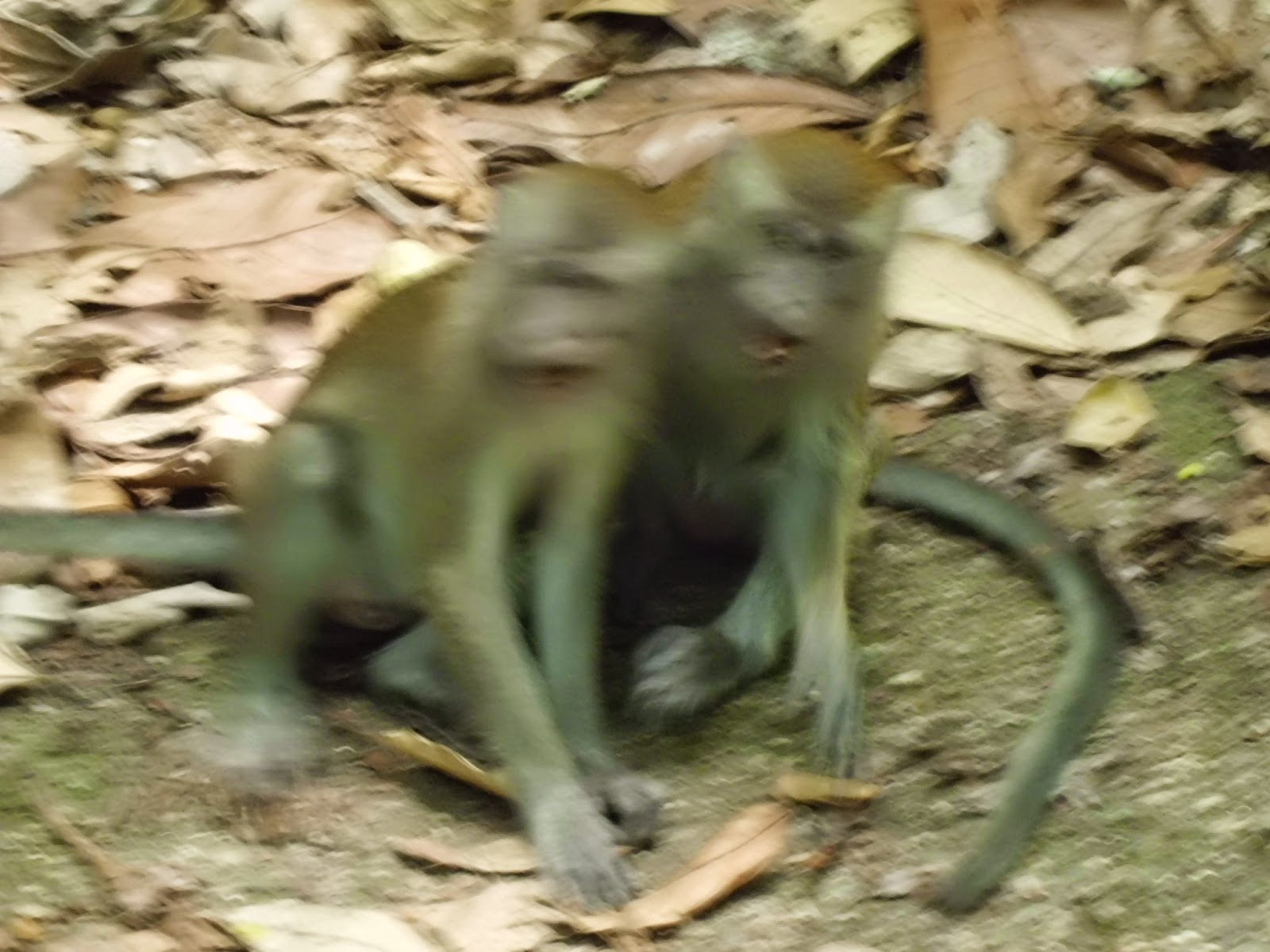 Long-tailed Macaques (Macaca fascicularis) or monkeys along the Main Road