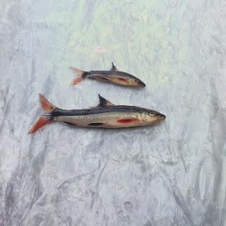 Cv kalimantan fish aquarium for Flying fox fish