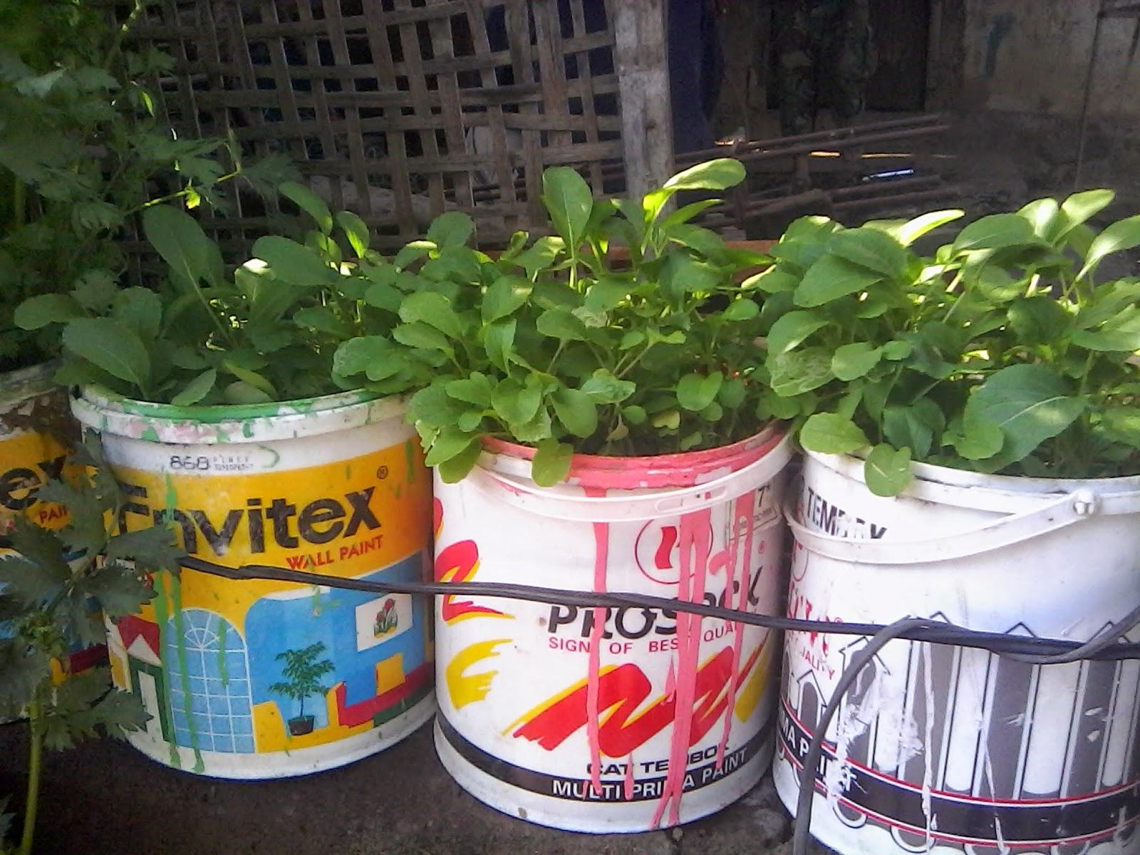 kaleng bekas untuk tanam sayur