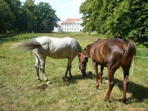 Obornik koński - ph, skład, stosowanie w ogrodzie