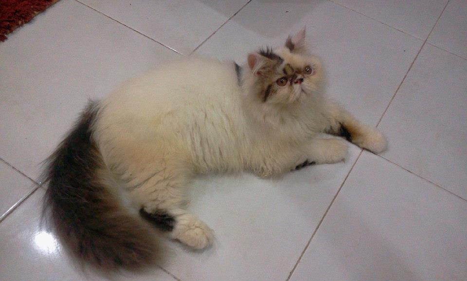 Kucing Persian Di Kuantan Pahang Malaysia Kucing Persian Kami