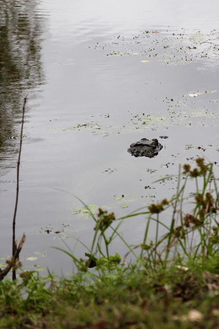 Close Up of Alligator-Spillway Trail-Brazos Bend State Park-Needville, Texas