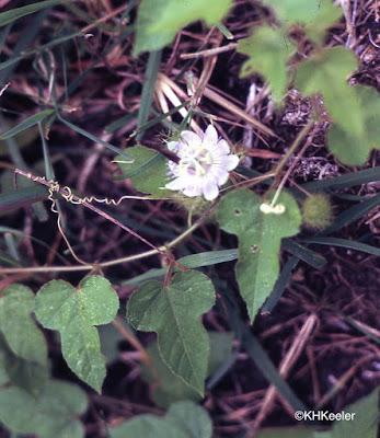 passion vine, Passiflora species