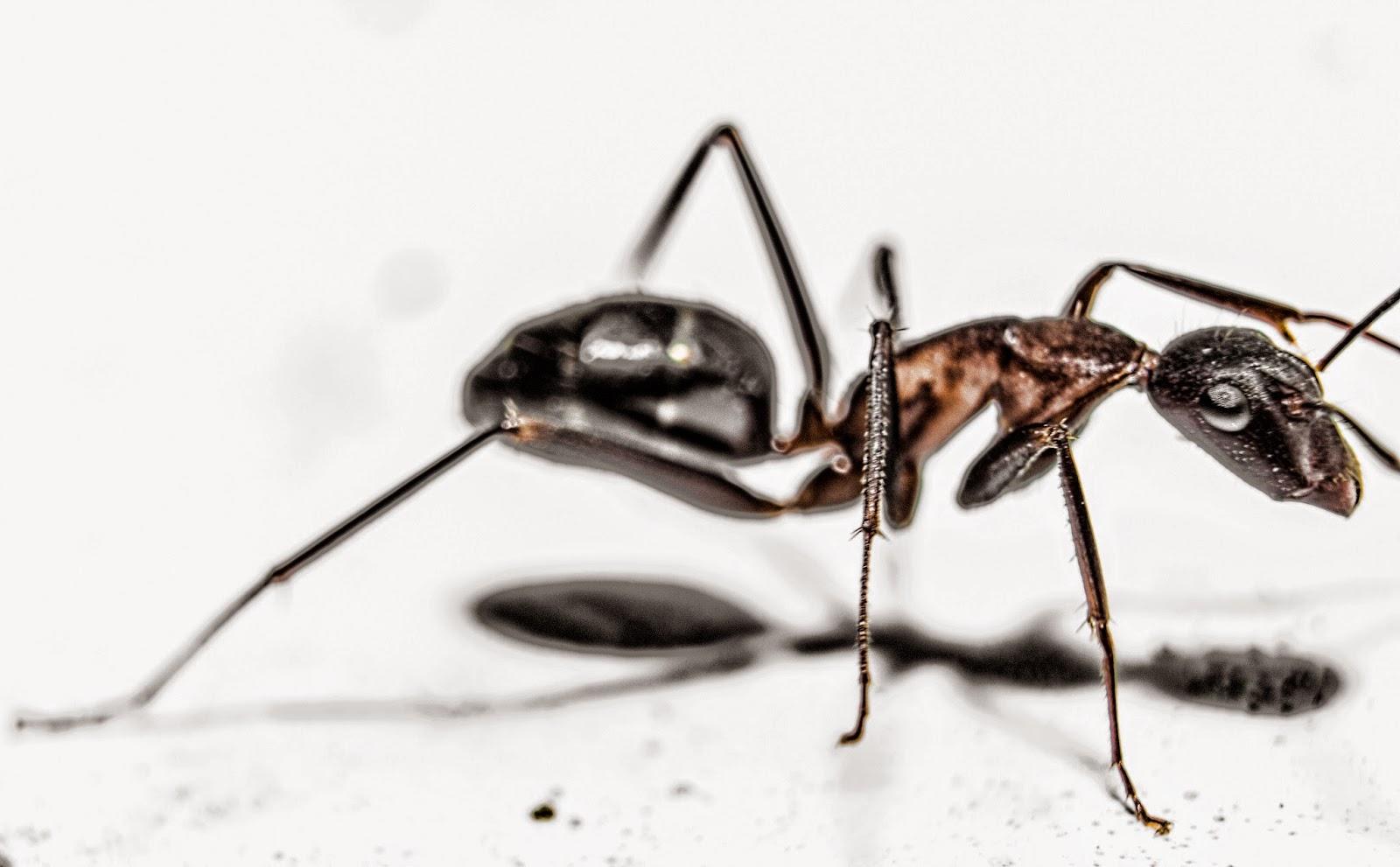 fotografía macro de una hormiga retocada en photoshop