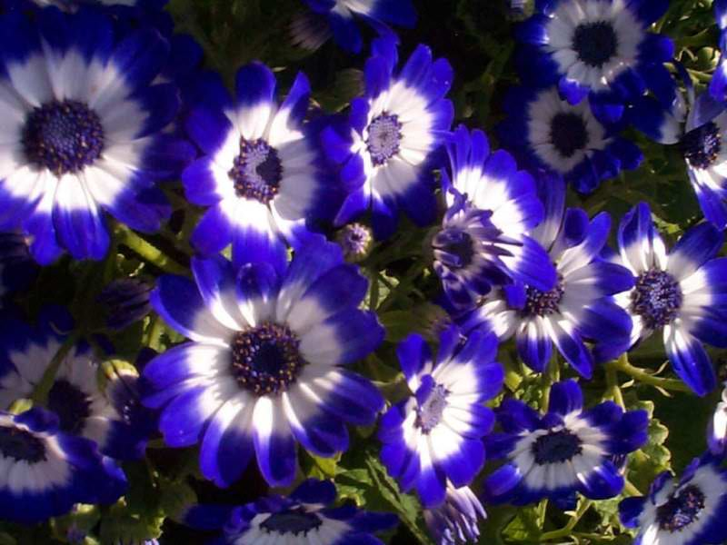 Beautiful Blue Flowers Wallpapers Blue Flower Wallpaper