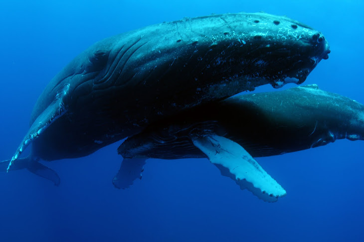 Roca Partida Humpbacks