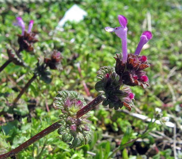 Mound our weeds just like its cousin dead nettle and youll often find them side by side possibly confusing them because of their purple flowers mightylinksfo