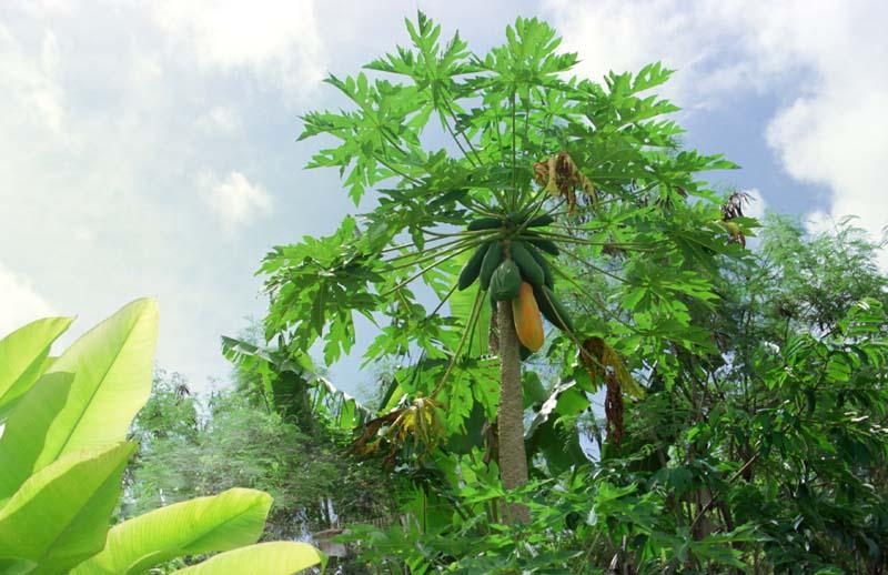 Orto per tutti piante da frutto esotiche for Albero di banane