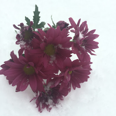 Purple Daisies during Winter Storm Jonah, the Blizzard of 2016, by Stein Your Florist Co.