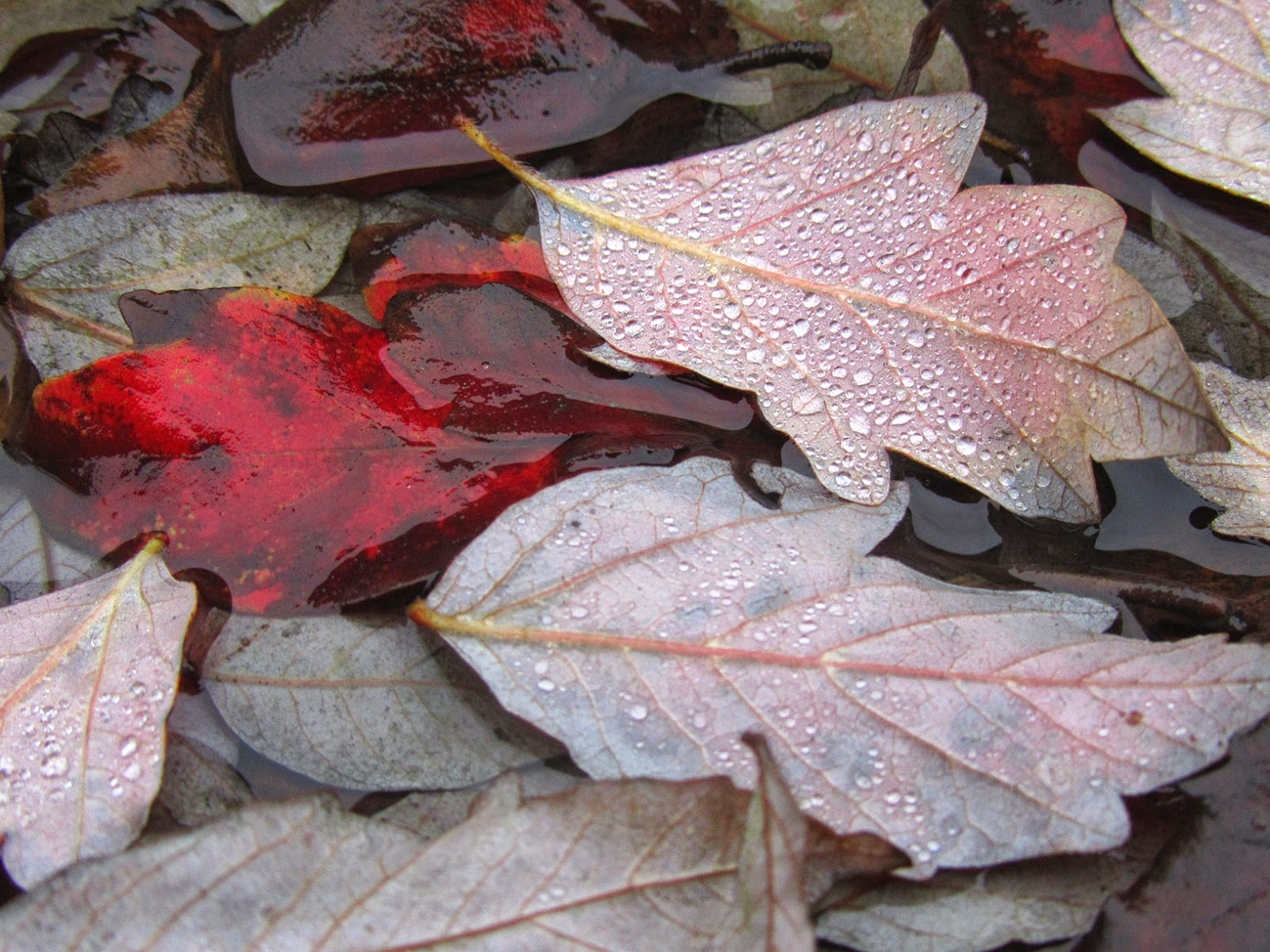 red leaf and leaves with raindrops