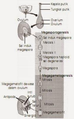 Proses oogenesis di ovulum