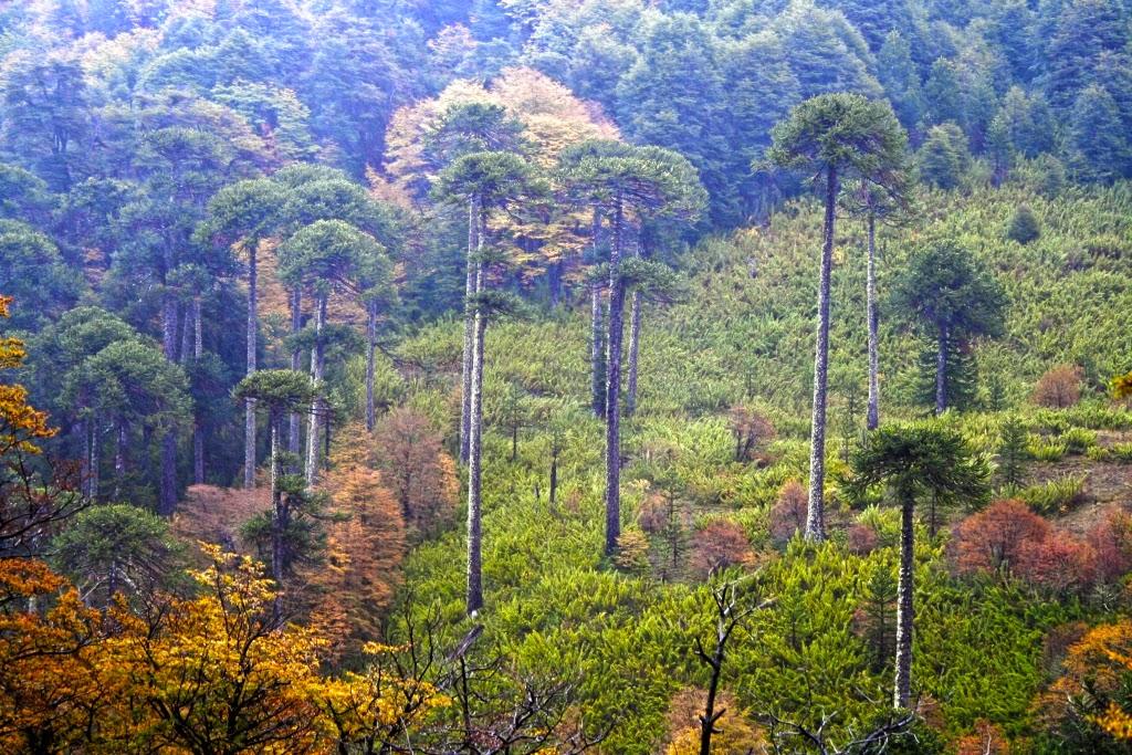 Chile es paisaje araucarias en oto o 2009 malalcahuello for Grabado de cristales zona sur