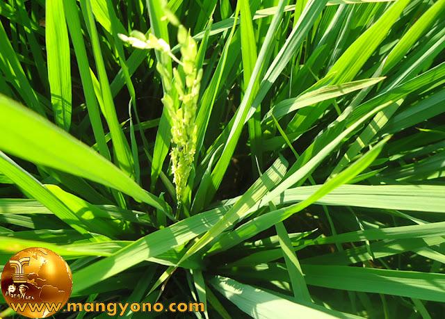 Tanaman padi sudah berbunga. Foto jepretan admin.