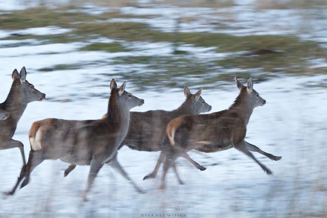 Edelherten op de vlucht -  Red deer running - Cervus elaphus