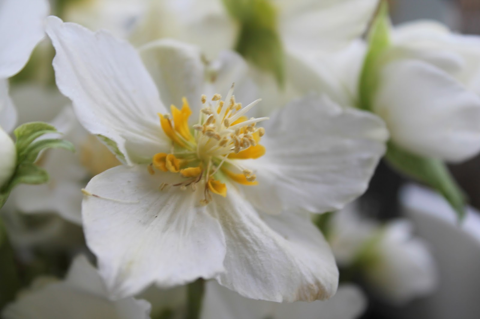 Christrose bluehend weiss