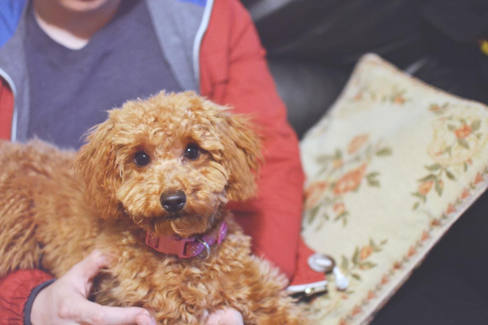 Miniature poodle, toy poodle, apricot poodle