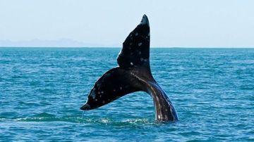 Orlu the Blue Whale