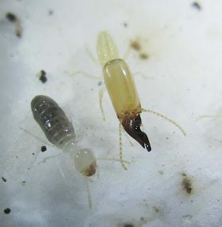 worker and soldier of Dicuspiditermes nemorosus termite