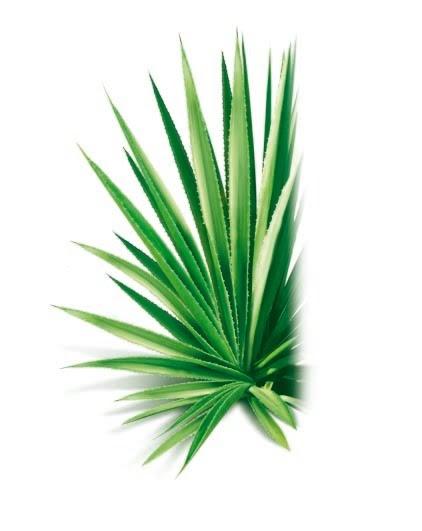 Sunny Via® - Le Blog: DECO: Lagave en plante dintérieur?