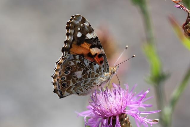Tierfotos - Schmetterlinge - Distelfalter