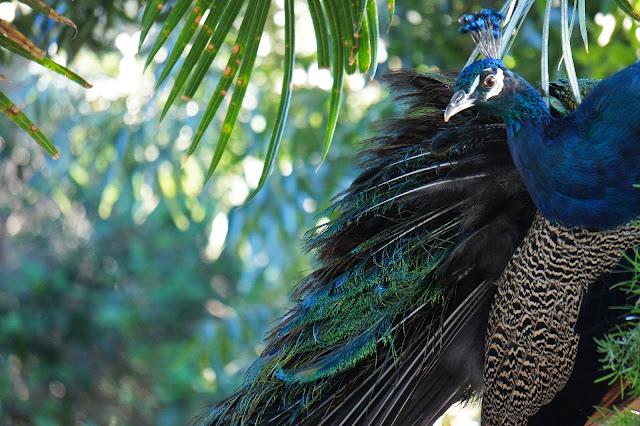 san anton gardens peacock malta