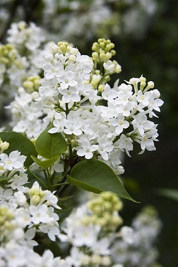 Syringa Vulgaris 'White lilac' by Chris Scroggins