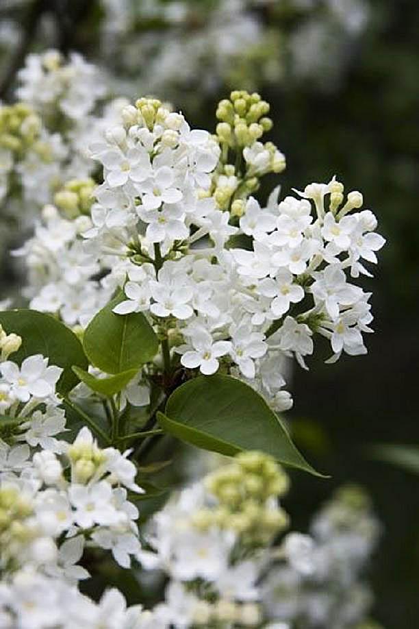 Syringa Vulgaris 'White lilac' by Chris Scroggins