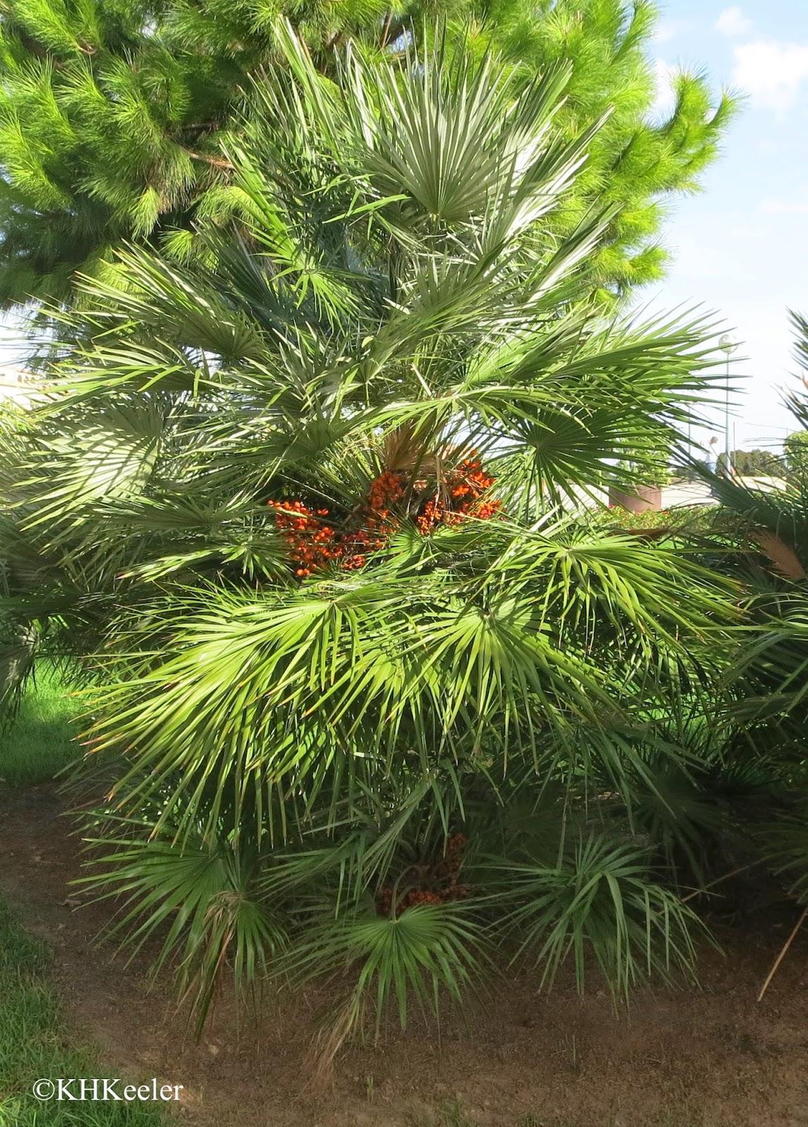 palm with fruits, Palma, Mallorca
