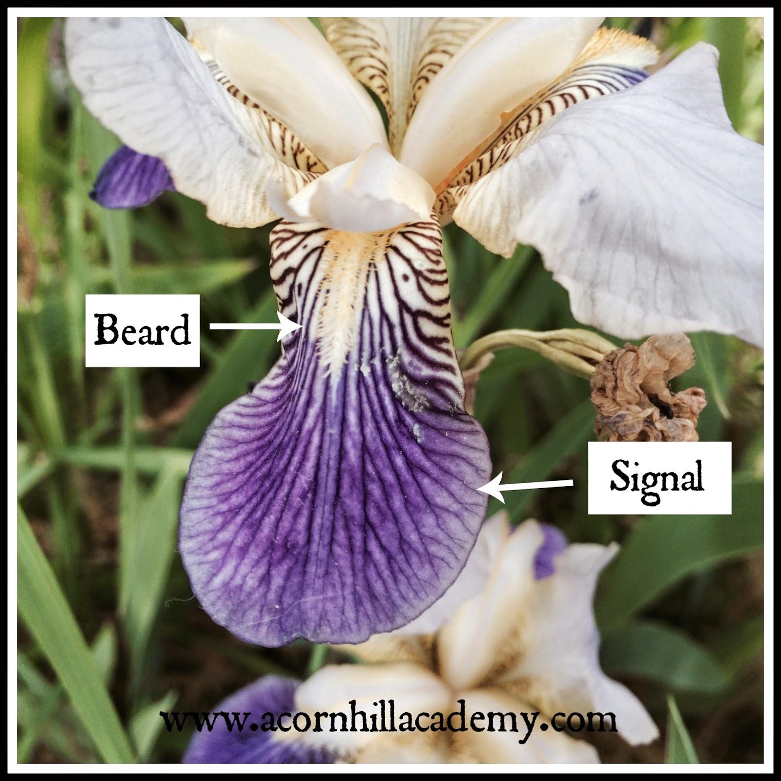 Acorn Hill Academy Nature Study Iris