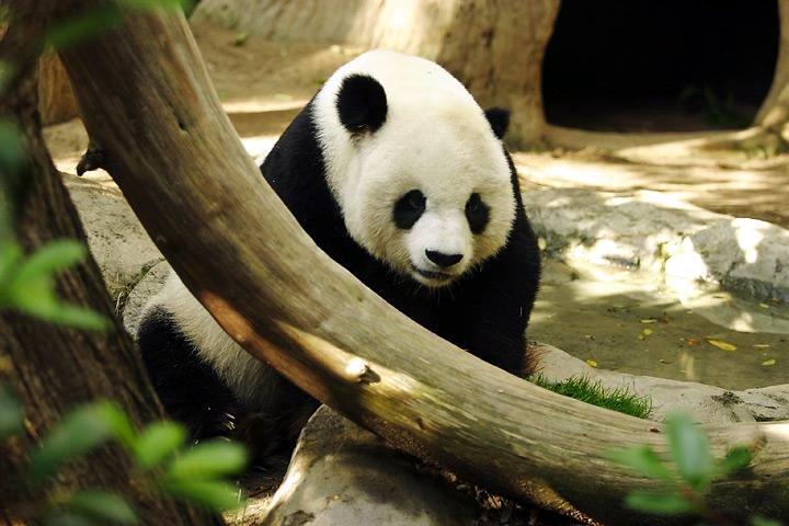 gambar panda gambar panda