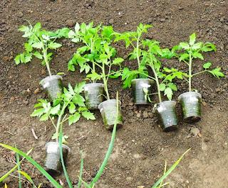 17.05. Подготовка к высадке помидоров. Как назло - поднялся ветерок.