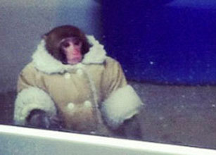 Monkey in coat