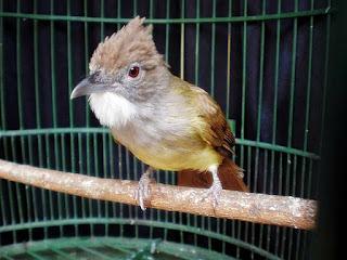 Burung Cucak Jenggot : Habitat Burung Cucak Jenggot
