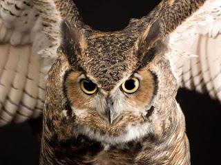 Perbedaan Burung Hantu Javan Scops Owl Dan Brown Hawk Owl