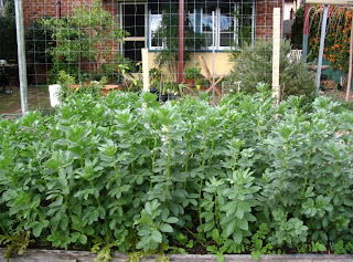 Master Gardeners Of Tompkins County Ny Growing Fava Beans In Upstate Ny Part 1
