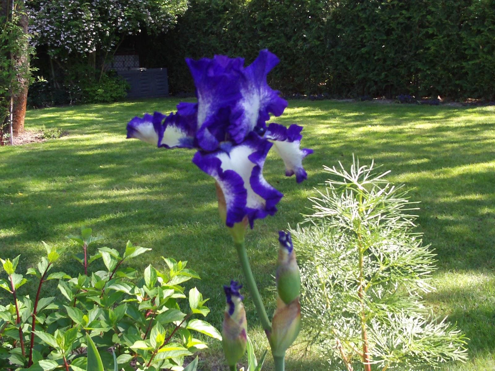 bartiris iris schwertlilie ein traum in blau wei gartenelfe. Black Bedroom Furniture Sets. Home Design Ideas