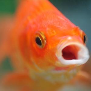 poisson rouge avec la bouche ouverte