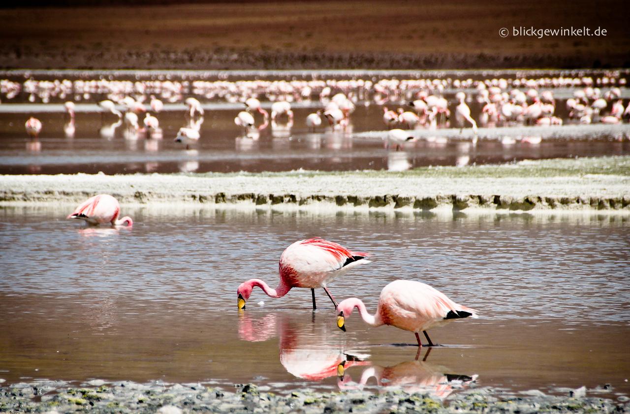 Flamingos, Bolivien