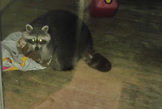 Racoon in patio