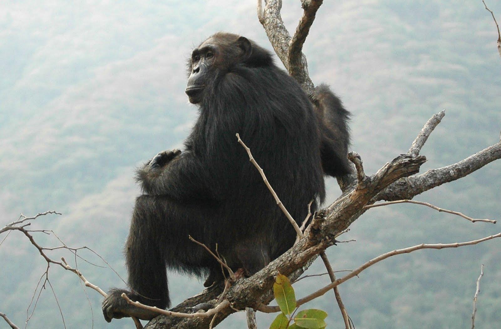 Chimpanzee Endangered