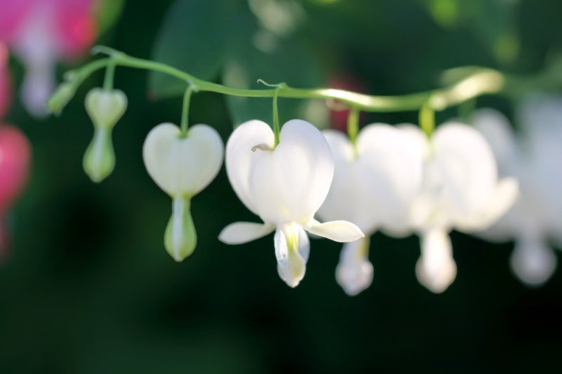 white bleeding heart plant