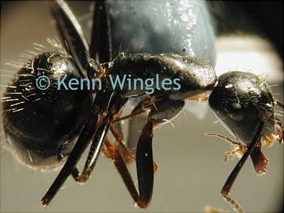 ant under a microscope - photo #10